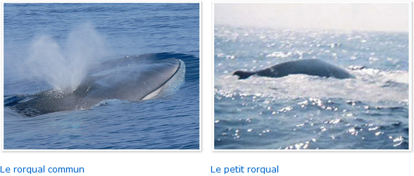 On peut, au large de Mandelieu, se retrouver dans l'eau avec des dauphins !